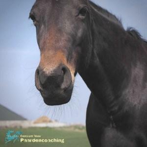 Neus_paard