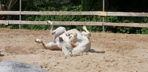 paard rolt